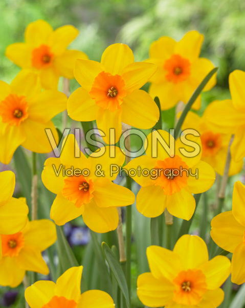 Narcissus Pappy George
