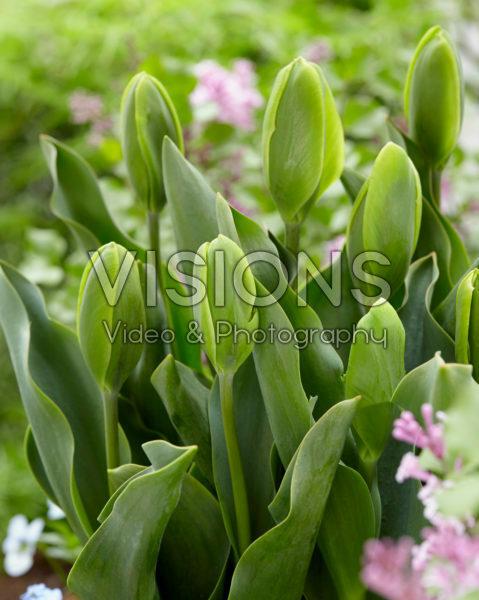 Tulipa Green Power