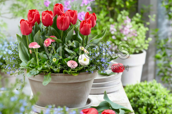 Tulipa Dean