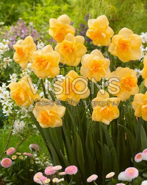 Narcissus Orange Juice