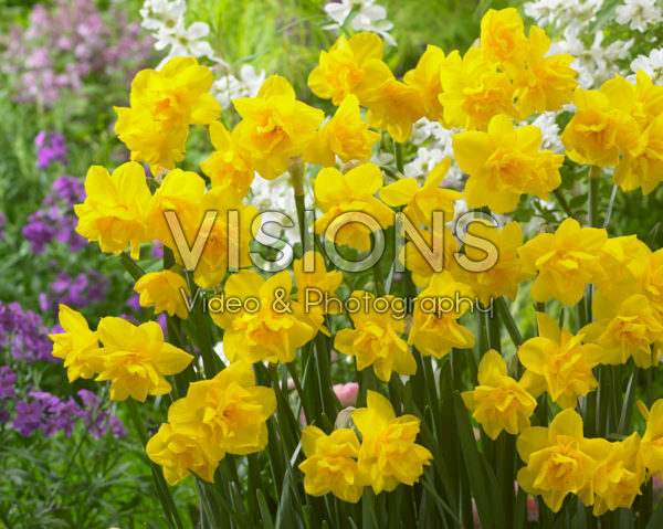 Narcissus Golden Delicious