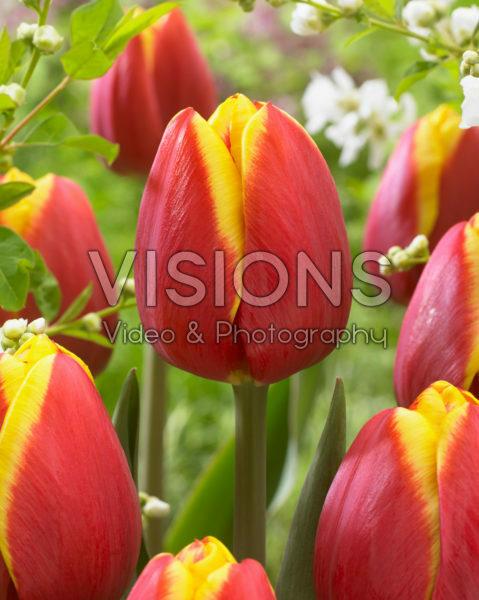 Tulipa Rambo