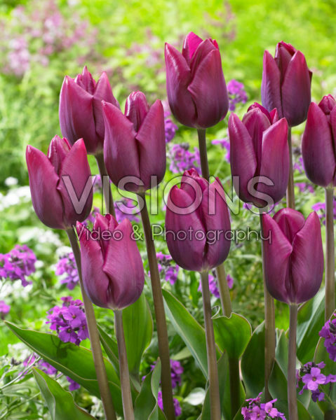 Tulipa High Five