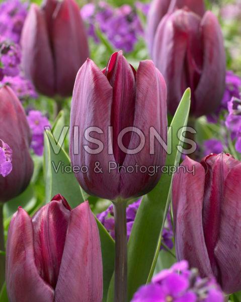 Tulipa Caviar®