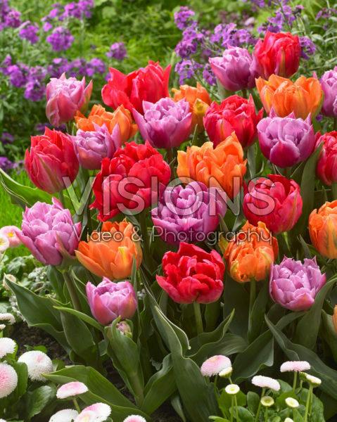 Tulipa dubbelbloemig gemengd