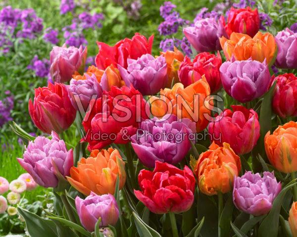Tulipa double mixed