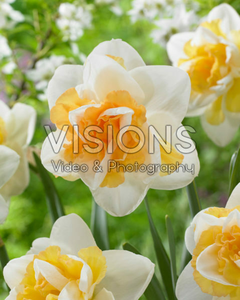 Narcissus Golden Pearl