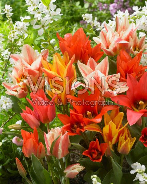 Tulipa Canada mix