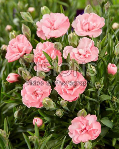 Dianthus Pink Faganza