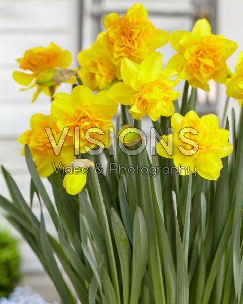 Narcissus Sunday Star