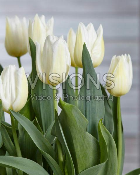 Tulipa Agrass White