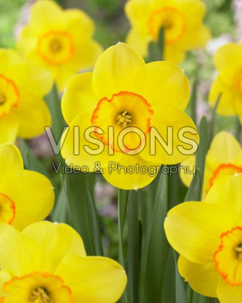 Narcissus Pacific Rim