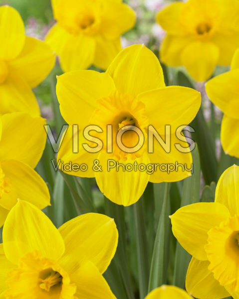 Narcissus Strong Gold