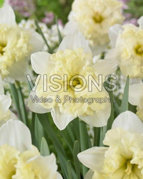 Narcissus Chantez