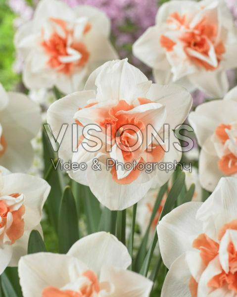 Narcissus dubbel