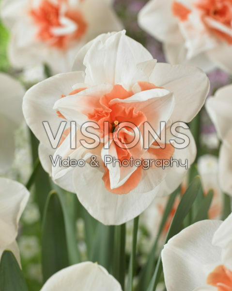 Narcissus double
