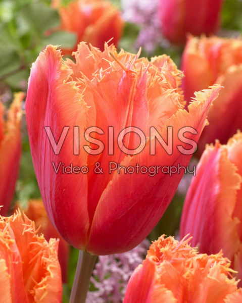 Tulipa Mango Crystal