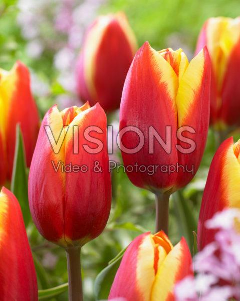 Tulipa Tarzan