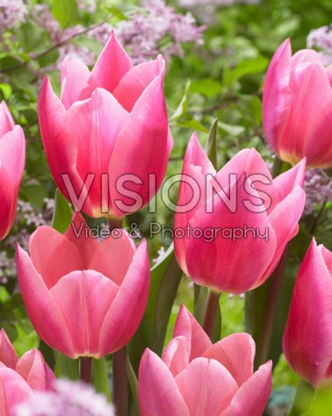 Tulipa Pink Surprise