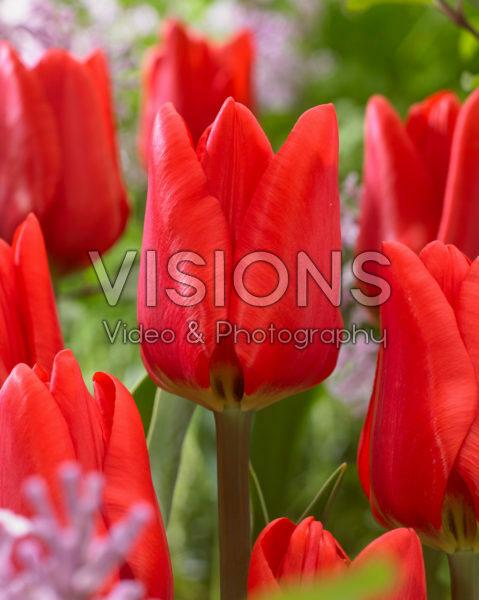 Tulipa Ben Fire