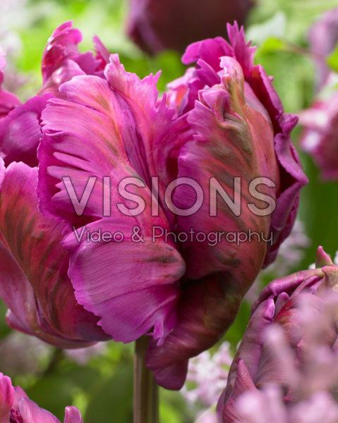 Tulipa Secret Parrot