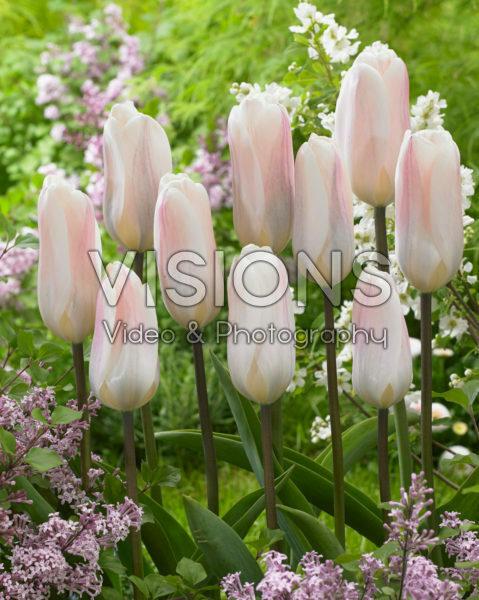 Tulipa Fremont