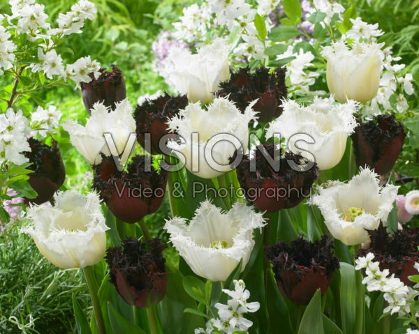 Tulipa Labrador, North Pole