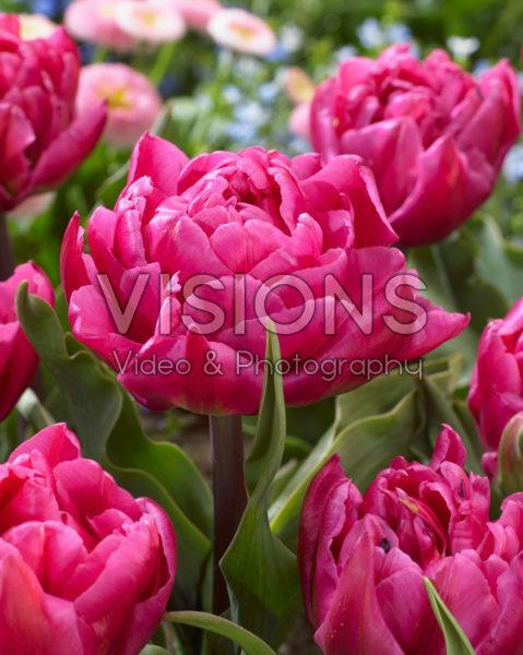 Tulipa Shopper