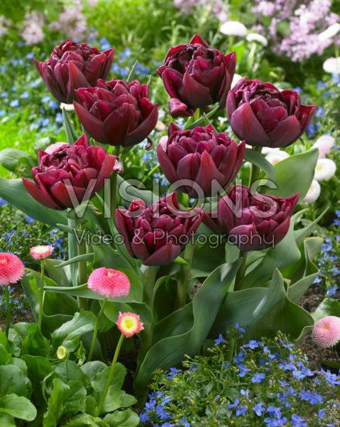 Tulipa Alison Bradley