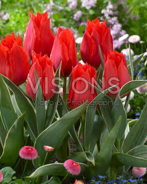 Tulipa Rob Verlinden