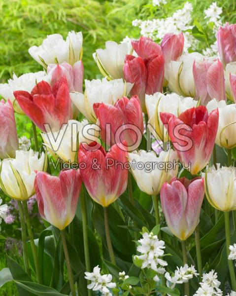 Tulipa White Valley, Flaming Purissima
