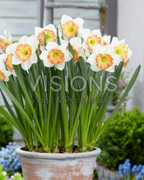 Narcissus Stef van Kampen