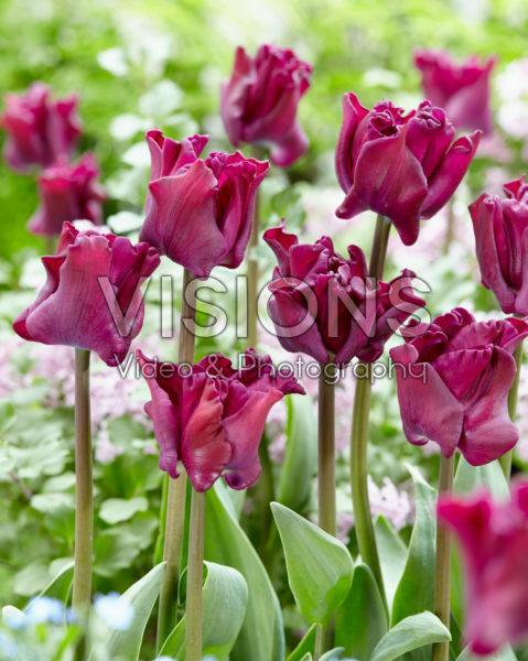 Tulipa Crown of Negrita