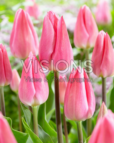 Tulipa Christmas Dream