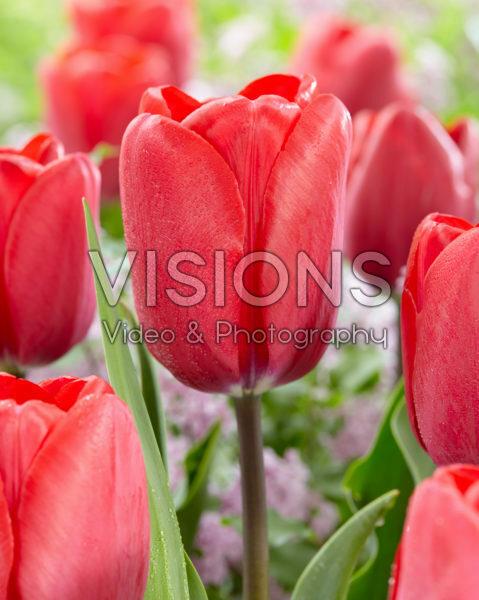Tulipa Topgun