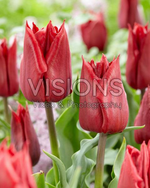 Tulipa Robin Hood