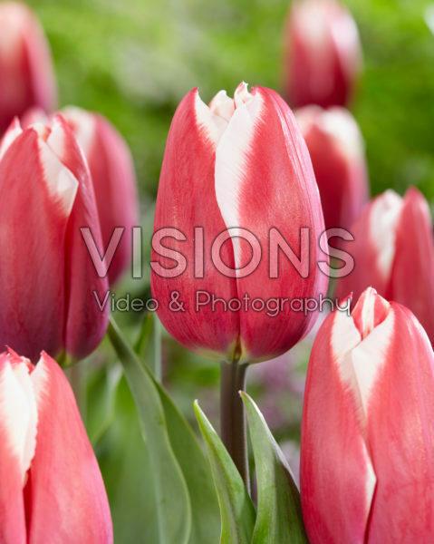 Tulipa Yolly