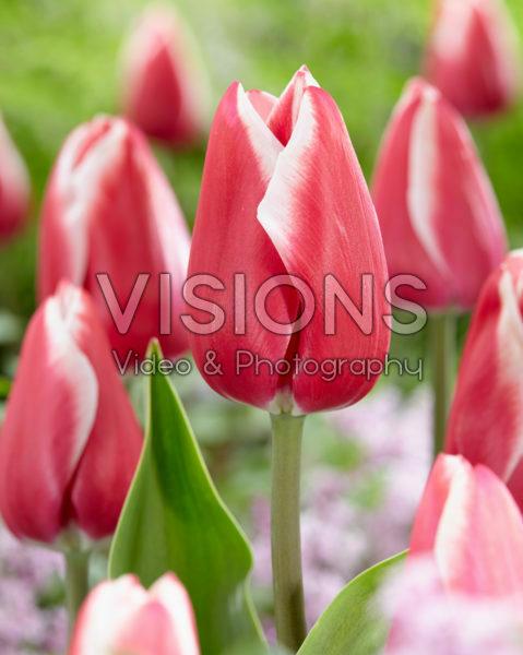 Tulipa Annemarie