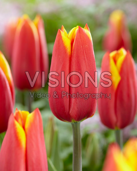 Tulipa Illusionist