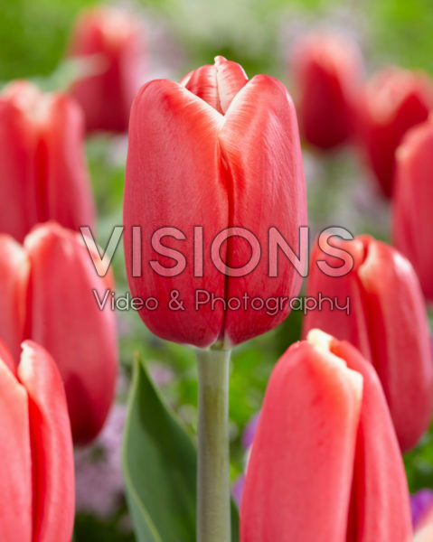 Tulipa Skycruiser