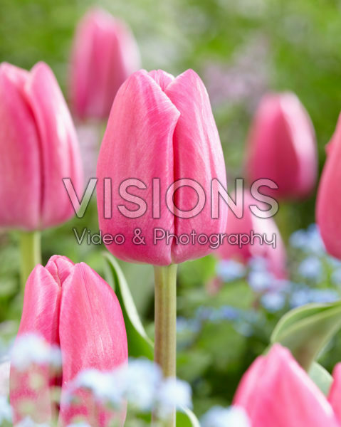 Tulipa Expression