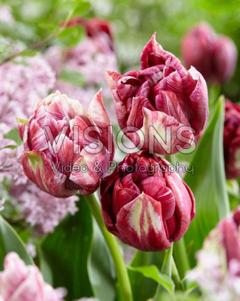 Tulipa Ragebol