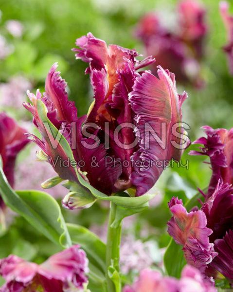 Tulipa Mysterious Parrot