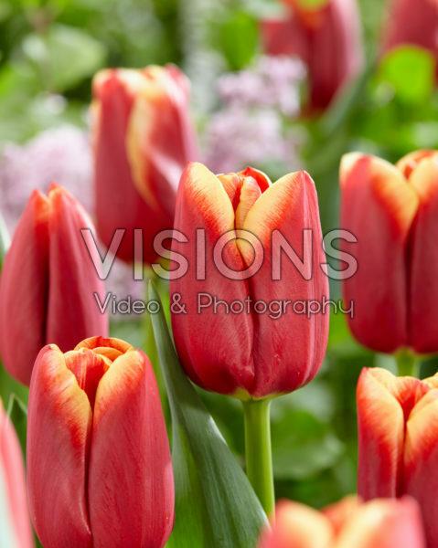Tulipa Bulgari