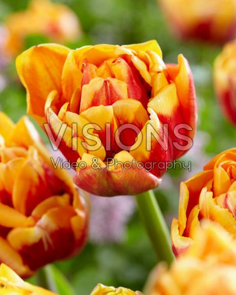 Tulipa Close Up