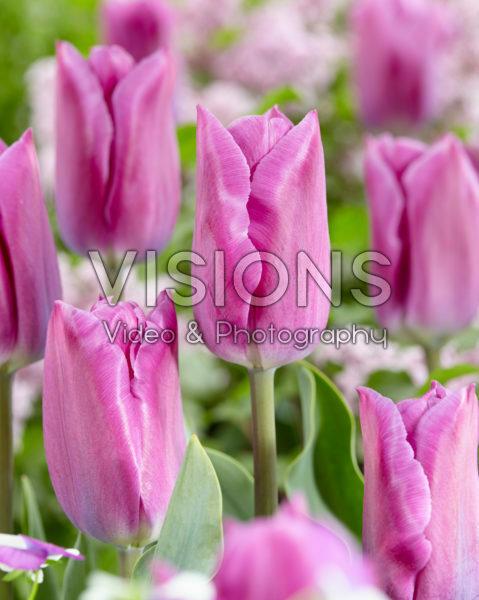 Tulipa Estate