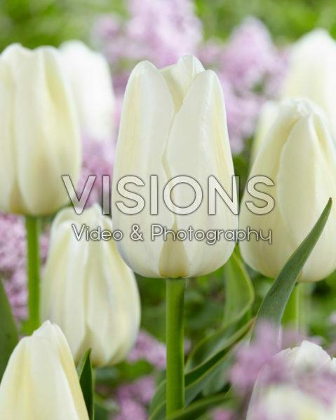 Tulipa Clearwater