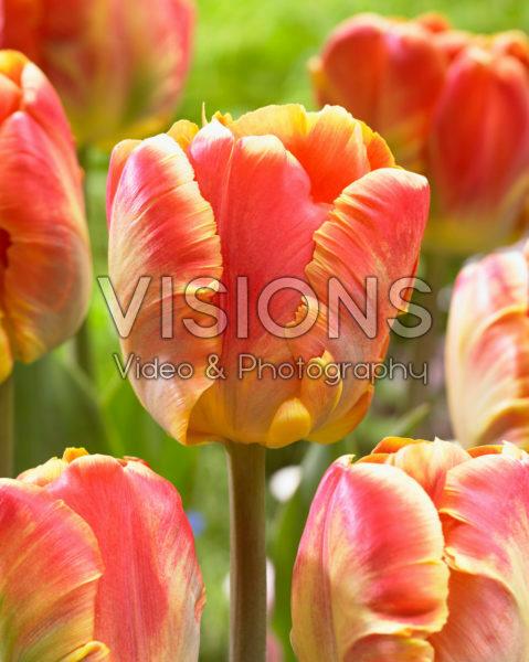 Tulipa Cracker Parrot