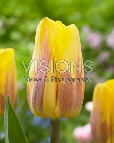 Tulipa flamed