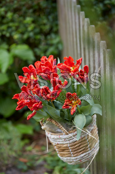 Tulips in hanging basket